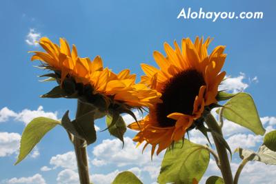 alohayou.com